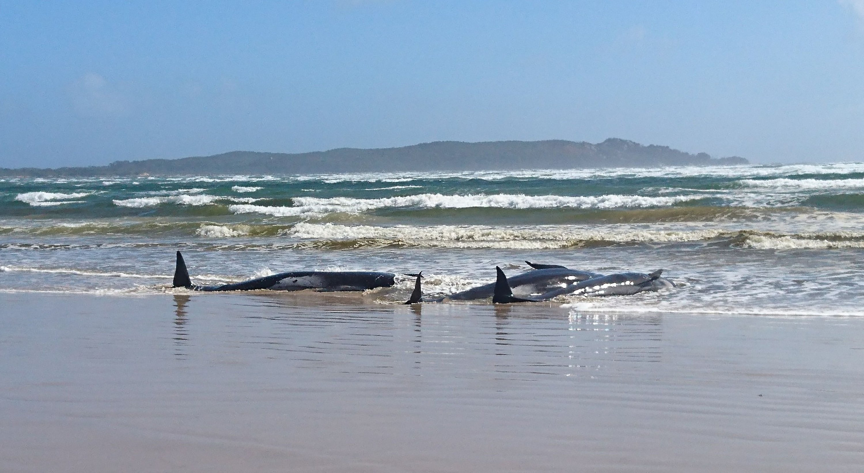 Around 270 whales stranded on a sandbar off Tasmania