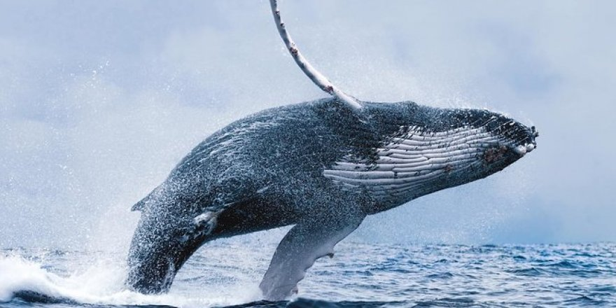 Fred. Olsen Cruise Lines confirmes a nine-cruise whale-watching program