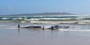 Around 270 whales stranded on a sandbar off Tasmania